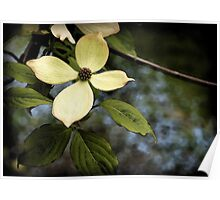 Dogwood in Watercolor Poster