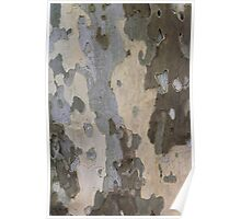 American Sycamore Poster