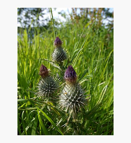 Thistles at Loch Ness Photographic Print