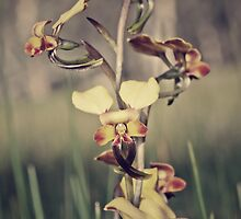 Rosy-cheeked Donkey Orchid by Paul Amyes