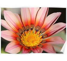 Gazania beauty Poster