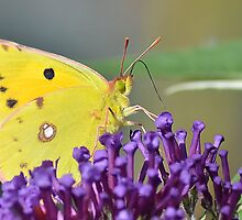 Clouded Yellow Butterfly ,  Colias croceus by relayer51