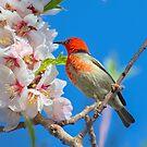 Scarlet Honeyeater Canberra Australia  by Kym Bradley