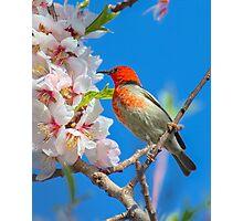 Scarlet Honeyeater Canberra Australia  Photographic Print