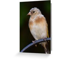Juvenile Goldfinch Greeting Card