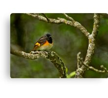 American Redstart Canvas Print