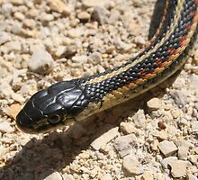 Head of a Red Sided Garter Snake by rhamm