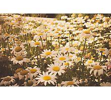 Daisies. Photographic Print