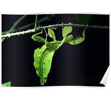 Leaf Insect Poster