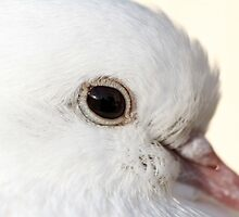 Fantailed Dove by AyrshireImages