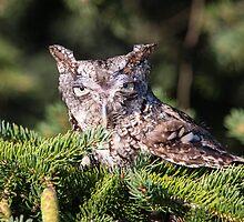 Inquisitive Screech Owl by Robert Kelch, M.D.