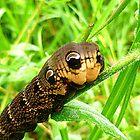 Deilephila elpenor, Elephant Hawk-moth caterpillar by ©The Creative  Minds