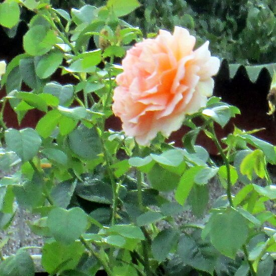 a lovely peach rose by margaret hanks