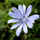 Common chicory by elsie