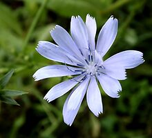 Common chicory by Hilli Orumaa