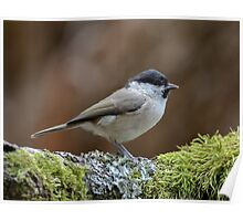 Willow tit - IV Poster