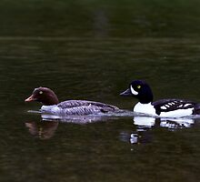 Barrow's Goldeneye Pair by Michael Russell