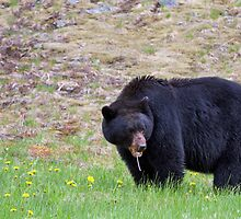 Black Bear (Ursus americanus) in Manning Park by Michael Russell