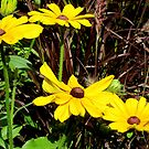 Blackeyed Susan by Mike Shell
