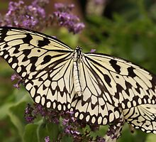 Paper Kite (Idea leuconoe) by camerahappy