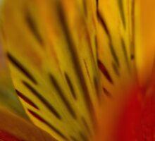 Alstroemeria Petals by photojeanic