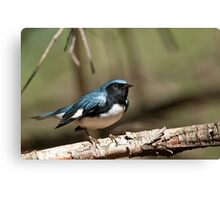 Black Throated Blue Warbler Canvas Print