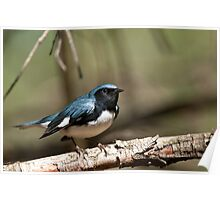 Black Throated Blue Warbler Poster