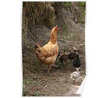 Free Range Chicken With Chicks Poster