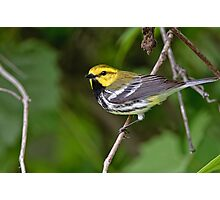 Black Throated Green Warbler Photographic Print