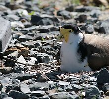 The silliest birds on the planet by Denzil