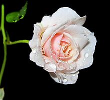 Rain Drops on Rose Flower by Abhinav R