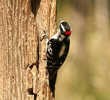 Downy Woodpecker on the Trunk of a Tree by rhamm