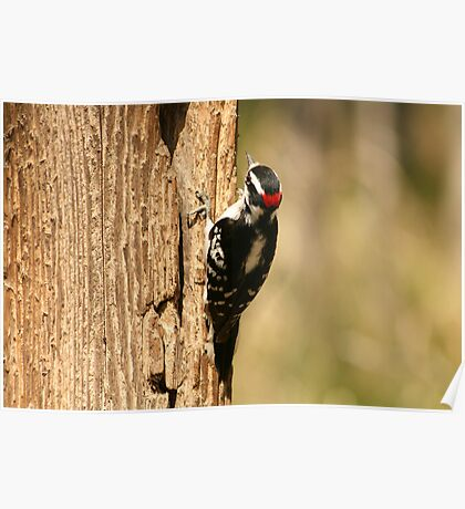 Downy Woodpecker on the Trunk of a Tree Poster