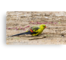 Regent Parrot Two Canvas Print