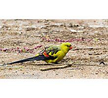 Regent Parrot Two Photographic Print