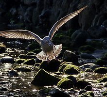 Even Baby Gulls Need Pacifying  by Susie Peek