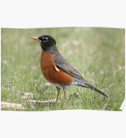 American Robin on a Field of Grass Poster