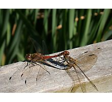 pair of mating ruddy darter dragonflies Photographic Print