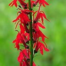 The Cardinal Flower by lorilee