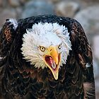 Screeching Bald Eagle Bird by PhotographyTK