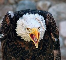 Screeching Bald Eagle Bird by PhotographyTK