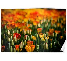 tulips (yellow and oranges) Poster