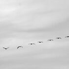 Pelicans in Flight by Buckwhite
