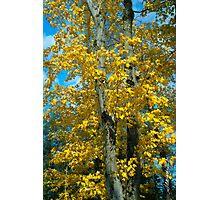 Yellow Maples Photographic Print
