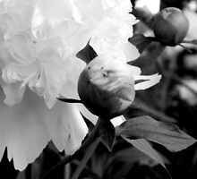 Flower Bud - Peony by ctheworld