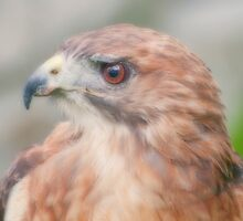 Red Tail Hawk Portrait by KathleenRinker