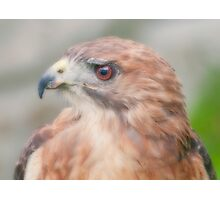 Red Tail Hawk Portrait Photographic Print