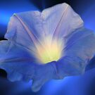 Morning Glory:  Inner Glow(PLEASE VIEW LARGE) by PatChristensen