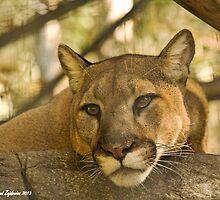 Cougar by Thad Zajdowicz