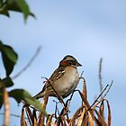 Rufous Collared Sparrow on a Branch by rhamm